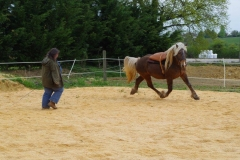 Vertigo avec 5 ans. Tout fier, tout plein d'énergie. Le but est de garder cette énergie dans le cheval et de ne pas le réduire à nôtre niveau d'humain. Ici, je le travaille lors d'un stage avec des pads sur son dos pour l'habituer à porter quelquechose sur son dos.
